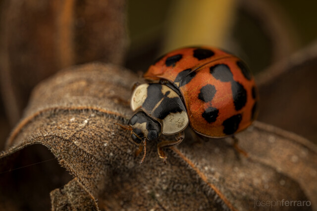 asian lady beetle on a leaf in the fall