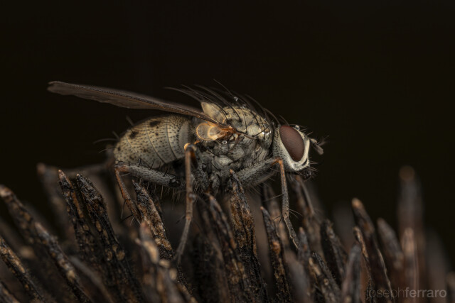 fly resting on echinacea seed head in the fall