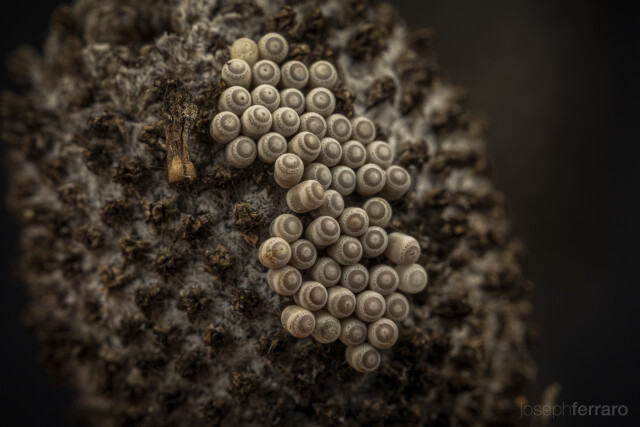 egg clutch on seed head in fall - possibly stink bug eggs